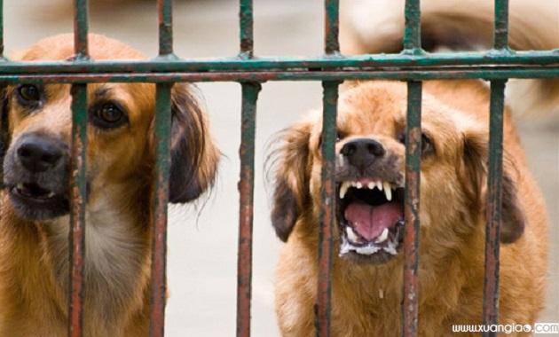 Người làm thịt chó luôn đứng trước nguy cơ bị chó dại cắn do không kiểm soát được nguồn gốc.